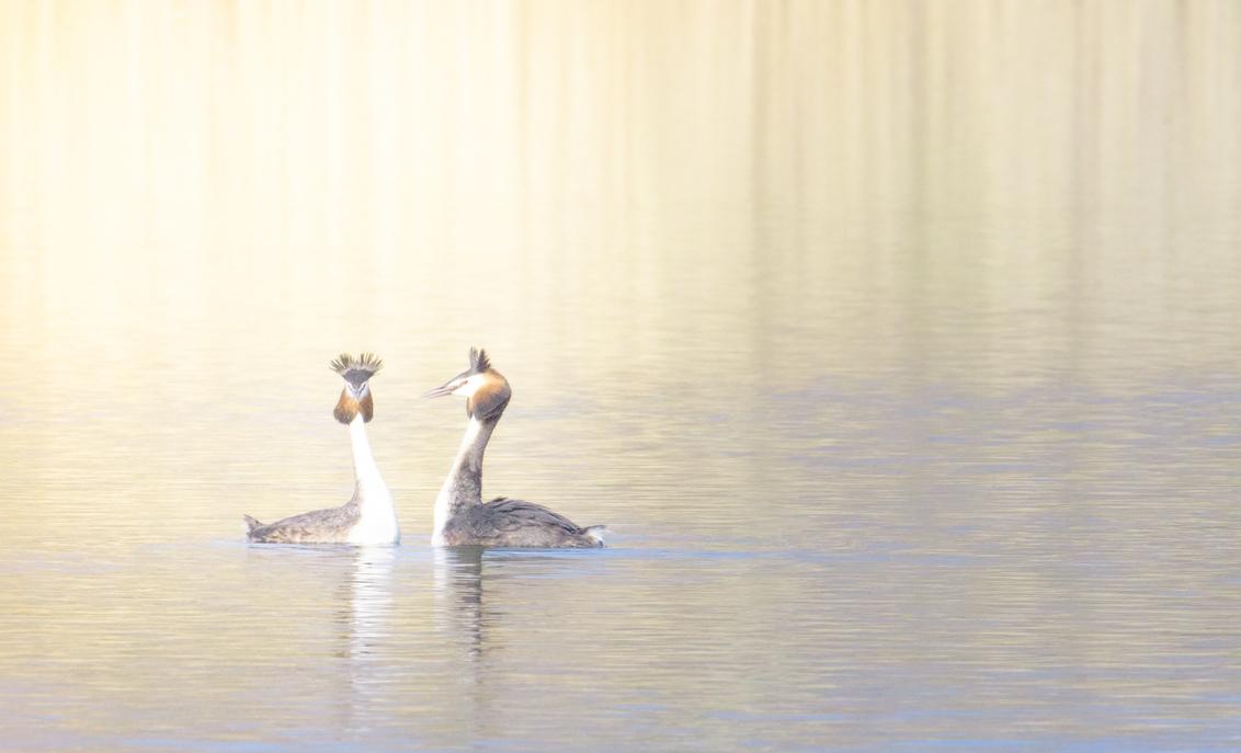 Highkey - Geprobeerd een highkey opname te maken van twee futen die bezig zijn met de paringsdans. - foto door wag-hendrikx1 op 01-03-2021 - deze foto bevat: natuur, licht, bewerkt, kunst, bewerking, contrast, creatief, lightroom