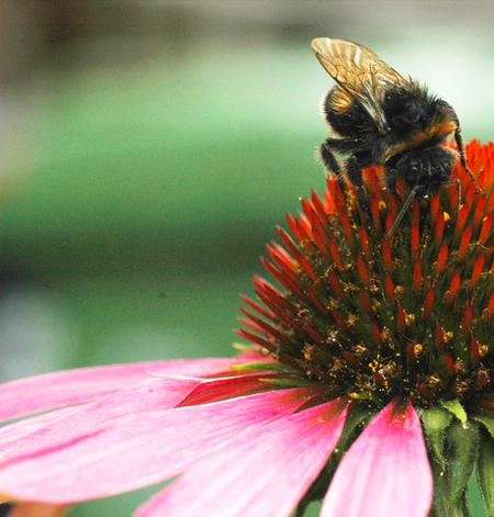 Hommel - Na een flinke regenbui zoemde deze al weer blij door de tuin. hij is nog een beetje nat. Heb hem wat opgelicht, bij mijn vorige upload was hij wel er - foto door Lailaat op 29-07-2008 - deze foto bevat: roze, macro, hommel, bloem, insect, nikon, tamron, echina, biemie, nerds