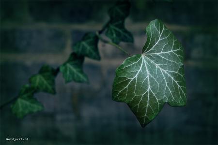 F@ntasy Leaf - Foto genomen in historische gedeelte Deventer. - foto door wendyext op 15-03-2011 - deze foto bevat: groen, plant, natuur, klimop, bewerking, deventer, fantasy, nerf