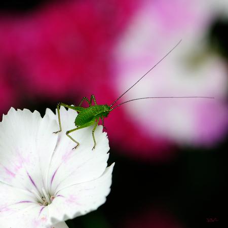 Prepare to jump - Deze kleine groene stond op het punt om naar het volgende bloemetje te springen.  Bedankt voor de reacties op mijn vorige foto`s.  Groet, Joost - foto door joostopzoomnl op 21-06-2015 - deze foto bevat: roze, groen, paars, rood, macro, wit, lente, sprinkhaan, zomer, insect, nikon, joost, nikkor