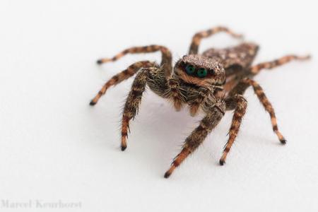 De mooie blauw-groene ogen van een springspin - Dit is een vrouwelijke schorsmarpissa van zo'n 10 mm lang.   Hoe vinden jullie haar?   Canon 70D, Tamron 90 mm macro SP  ISO 100, f/9, 1/200. - foto door mkeurhorst op 04-02-2015 - deze foto bevat: groen, macro, wit, blauw, eyes, natuur, spin, bruin, blauwtje, licht, zwart, spinnetje, oog, schorsmarpissa, jump, insect, ogen, blue, eye, white, jumping, close, spider, eng, brown, scary, springspin, bokeh, insects, marpissa, blauwe ogen, jumping spider