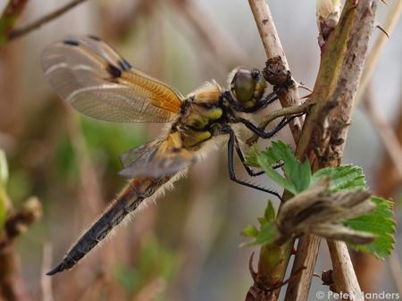 viervlek ♀ - libel viervlek vrouwtje - foto door peterpan_mg op 09-05-2010 - deze foto bevat: vrouw, libel, veen, viervlek, fochtelo, peterpan_mg