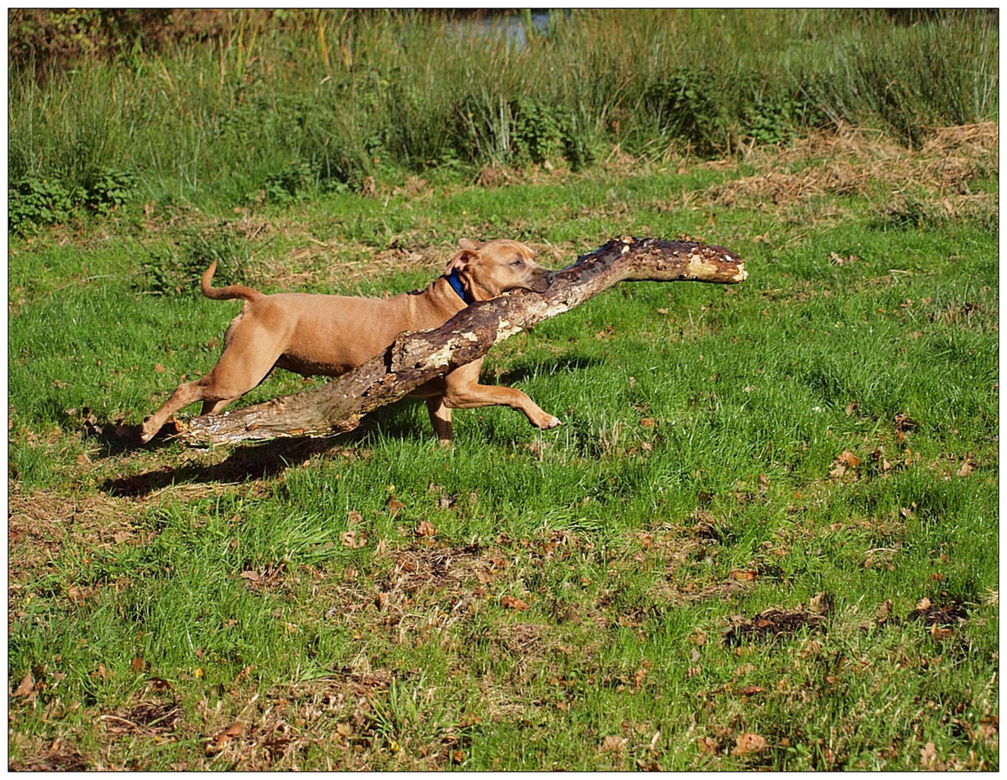 Hout sprokkelen.. - Onlangs zijn we weer eens hout wezen sprokkelen en dit in verband met de voorspelde strenge winter die er aan schijnt te komen zo als vooraanstaande  - foto door rudy-rudy op 18-10-2012 - deze foto bevat: herfst, winter, hond, hout, polder, kou, vrolijk, krimpenerwaard, rudy-rudy, tibor - Deze foto mag gebruikt worden in een Zoom.nl publicatie