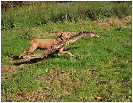 Hout sprokkelen.. - Onlangs zijn we weer eens hout wezen sprokkelen en dit in verband met de voorspelde strenge winter die er aan schijnt te komen zo als vooraanstaande  - foto door rudy-rudy op 18-10-2012 - deze foto bevat: herfst, winter, hond, hout, polder, kou, vrolijk, krimpenerwaard, rudy-rudy, tibor