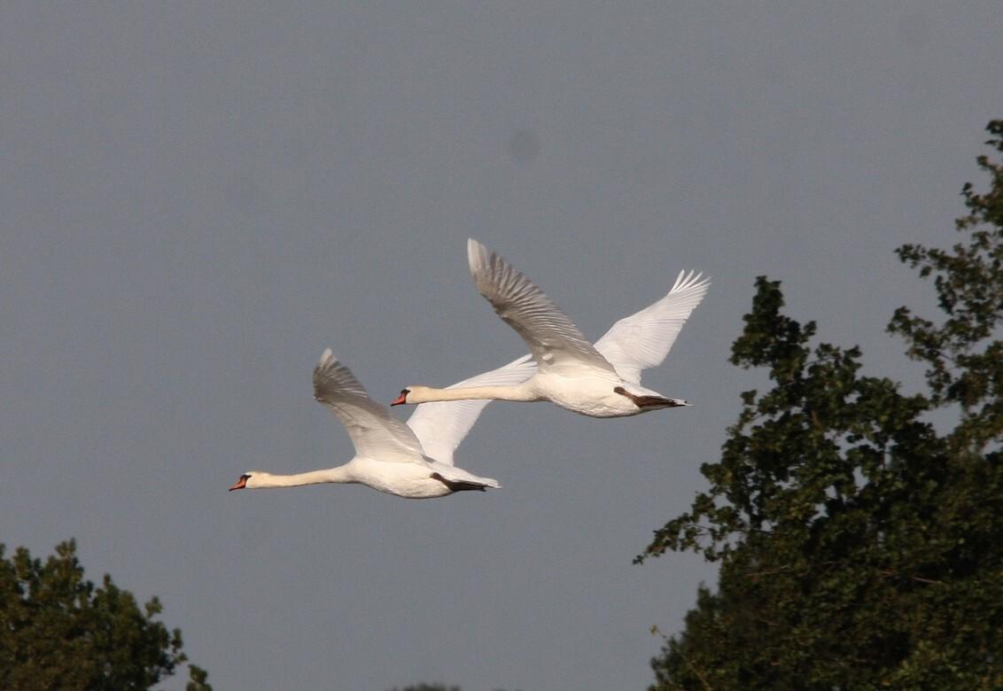 vliegende zwanen - - - foto door herwin501 op 11-10-2009