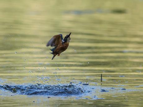 IJsvogel zonder prooi uit het water.