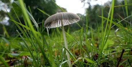 Doorzichtige paddenstoel