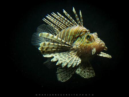Koraalduivel. - - - foto door Marianne-G op 30-04-2016 - deze foto bevat: dierentuin, vis, koraalduivel
