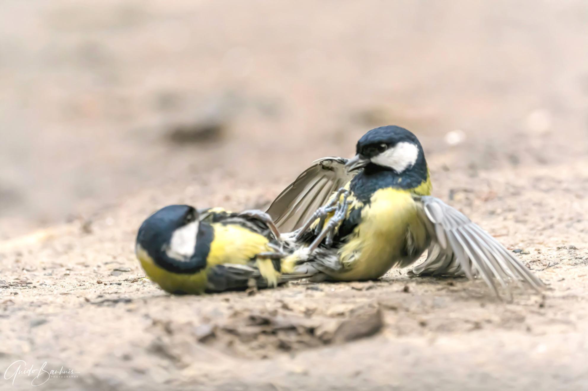 Koolmezen op de grond aan het ..... - Koolmezen op de grond - foto door guidobauhuis op 28-02-2021 - deze foto bevat: natuur, dieren, vogel, koolmees, wildlife