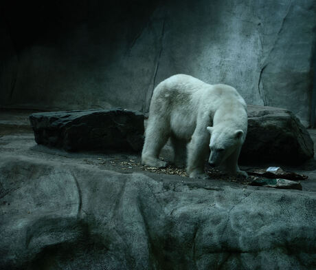 ijsbeer dierenpark rhenen