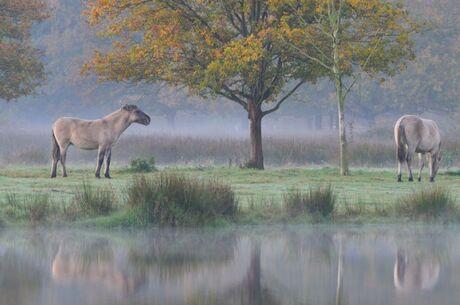 Wilde paarden in Tosch-Langeren natuurgebied, Maaseik