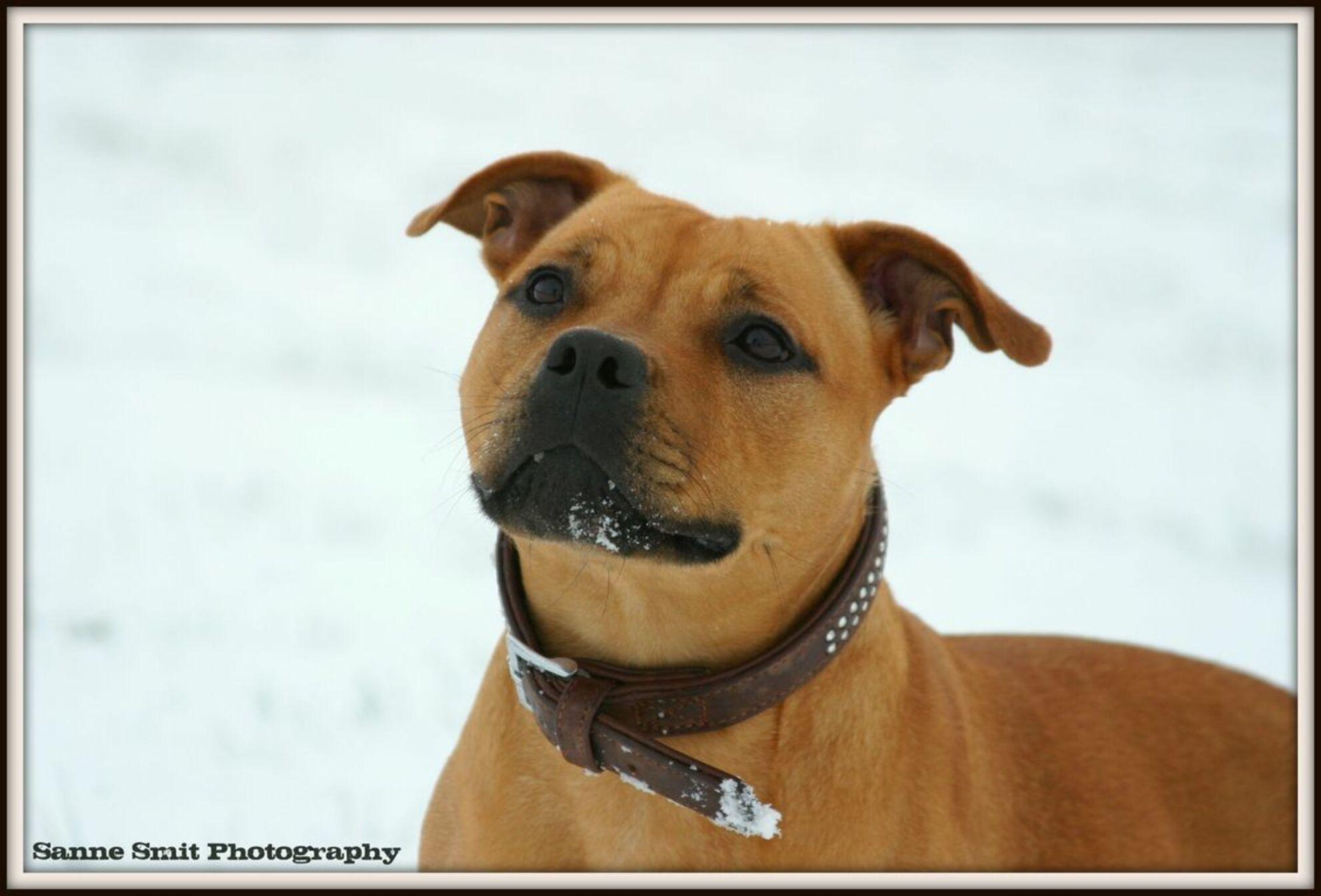 Mila - Sneeuwpret met mijn hond.. - foto door starshine op 06-01-2010 - deze foto bevat: hond, stafford