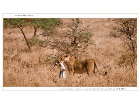 Lion with prey I