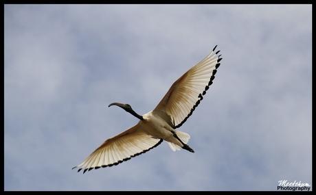 Australische ibis