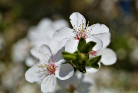 Sakura (bloesem)
