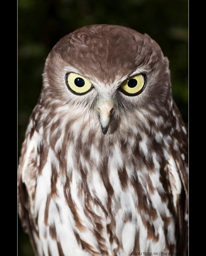 Ninox connivens - Canon 5DMkII | Tamron 90mm macro | ISO400 | 90mm | F/8 | 1/160sec - foto door fotoscape op 15-11-2010 - deze foto bevat: uil, portret, vogel, australie, ralf, 5dmkii, fotoscape, Ninox connivens