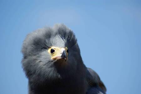 Kiekendief - Zaterdag in Avifauna genomen, tijdens de vogeldemo. - foto door TrudyH op 31-05-2009 - deze foto bevat: natuur, vogels, dieren, vogel, avifauna, kiekendief, trudyh