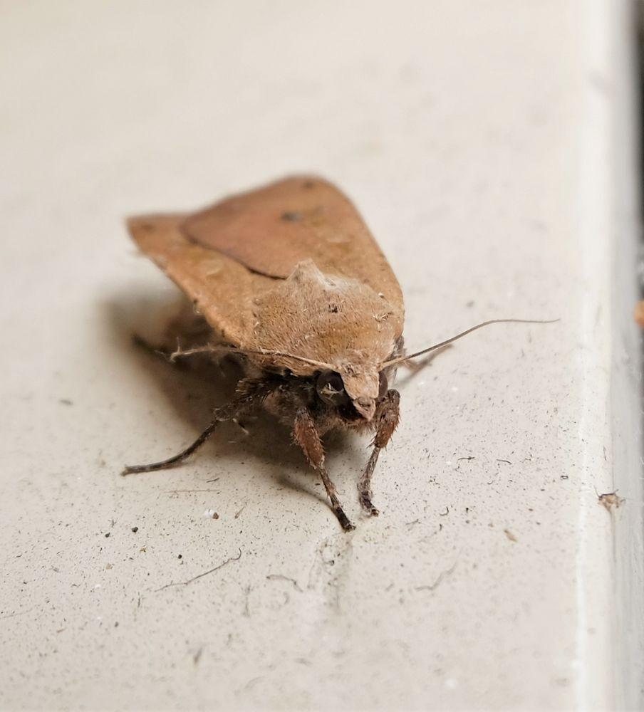 Het keek me aan...... - Allen dank voor jullie reactie,s en deze is echt een huismoedertje want de tijd dat ik hier op m'n nieuw adres woon is het iedere keer hier op bezoek - foto door jenny42 op 12-07-2018 - deze foto bevat: natuur, vlinder, bruin, vleugels, dieren, ogen, antennes, meppel, drempel, huismoeder, poten.
