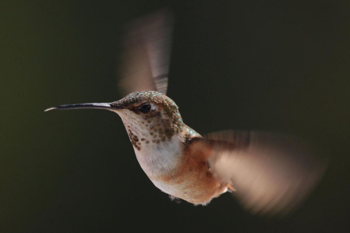 Hummingbird - Vorige week ben ik teruggekomen van een vakantie in West-Canada. Als vogelliefhebber had ik mij uiteraard zeer verheugd op de kolibrie (hummingbird), - foto door dunawaye op 19-08-2011 - deze foto bevat: vogels, canada, kolibrie, hummingbird, vancouver island