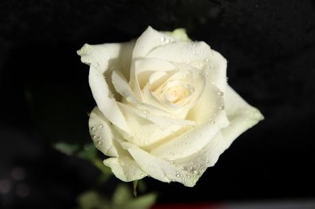 Witte roos.jpg