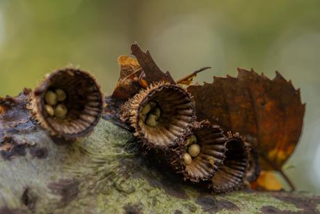 Gestreept nestzwammetje (Cyathus striatus)