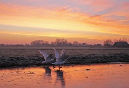 Vroege vogels - Vroege vogels op een bevroren poldersloot even voor zonsopkomst. - foto door b.neeleman op 22-01-2016 - deze foto bevat: vogels, winter, ijs, zonsopkomst, zwanen