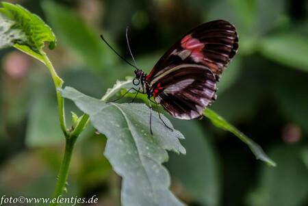 vlinder 8 - uit de vlindertuin Gemert waar de klant nog overspoeld wordt met info als men dat wil. Geert de beheerder is alle dagen aanwezig in de tuin om info  - foto door eugene-fotografie op 07-01-2018 - deze foto bevat: vlinder
