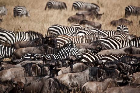 Zebra's & Gnoe's
