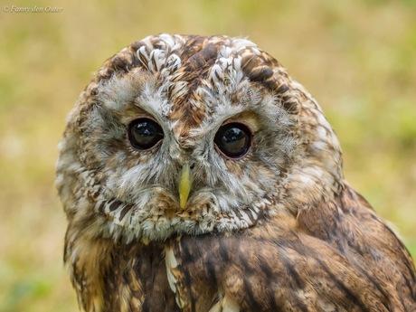 Tawny or Brown Owl
