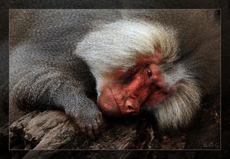 Troubled Eyes - Soms schijnt de zon en soms is het leven even niet makkelijk...     (even in het groot bekijken) - foto door daniel44 op 01-11-2009 - deze foto bevat: dieren, aap, baviaan, verdriet, daniel44