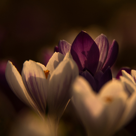 Crocus party...