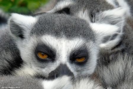 when I slap my fingers ... you fall asleep - In vogelpark Avifauna tref je ook het Madagaskargebied aan. In dit gedeelte van het park leven halfapen zoals de rode vari en de ringstaartmaki's. De - foto door Redfox16 op 29-04-2018 - deze foto bevat: dieren, wildlife, ringstaartmaki
