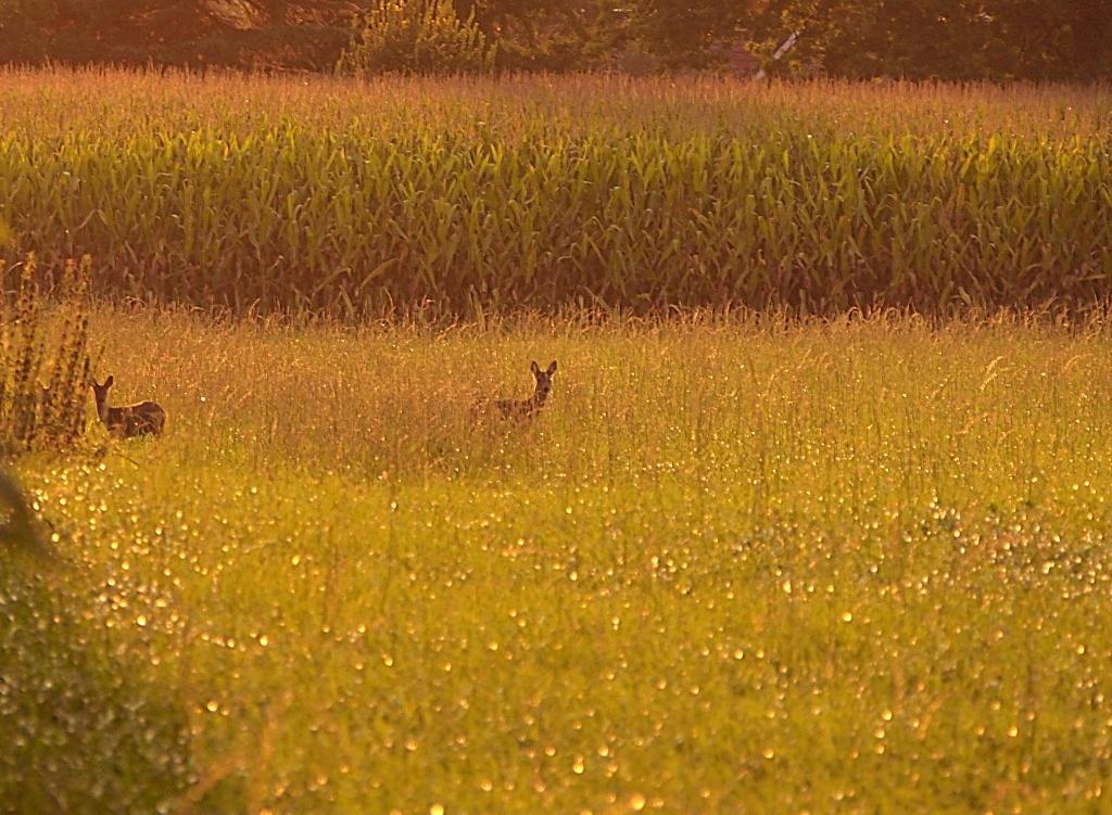 reeën - reeën tussen de maisvelden. - foto door jeanetfoto op 14-09-2020 - deze foto bevat: zonsondergang, reeen, maisvelden