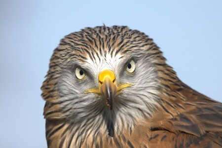 Rode wouw kijkt mij boos aan - Rode wouw kijkt recht in de lens - foto door AstridWindmeijer-Korsten op 04-03-2021 - deze foto bevat: natuur, dieren, vogel, roofvogel