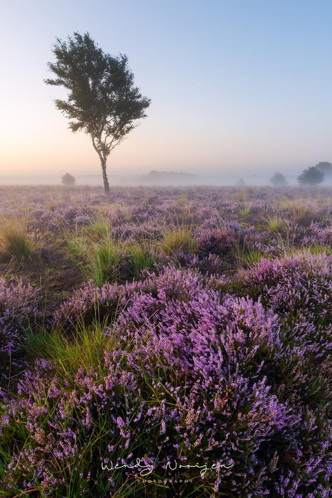 Berk bij het Grafven - Berk bij het Grafven met een laagje grondmist tijdens de zonsopkomst - foto door wendy1985 op 04-09-2020 - deze foto bevat: lucht, natuur, licht, landschap, mist, heide, zonsopkomst, zomer, bomen, berk, grafven, paarse heide