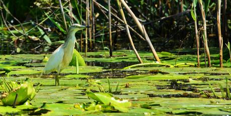 Waterlelie vogel