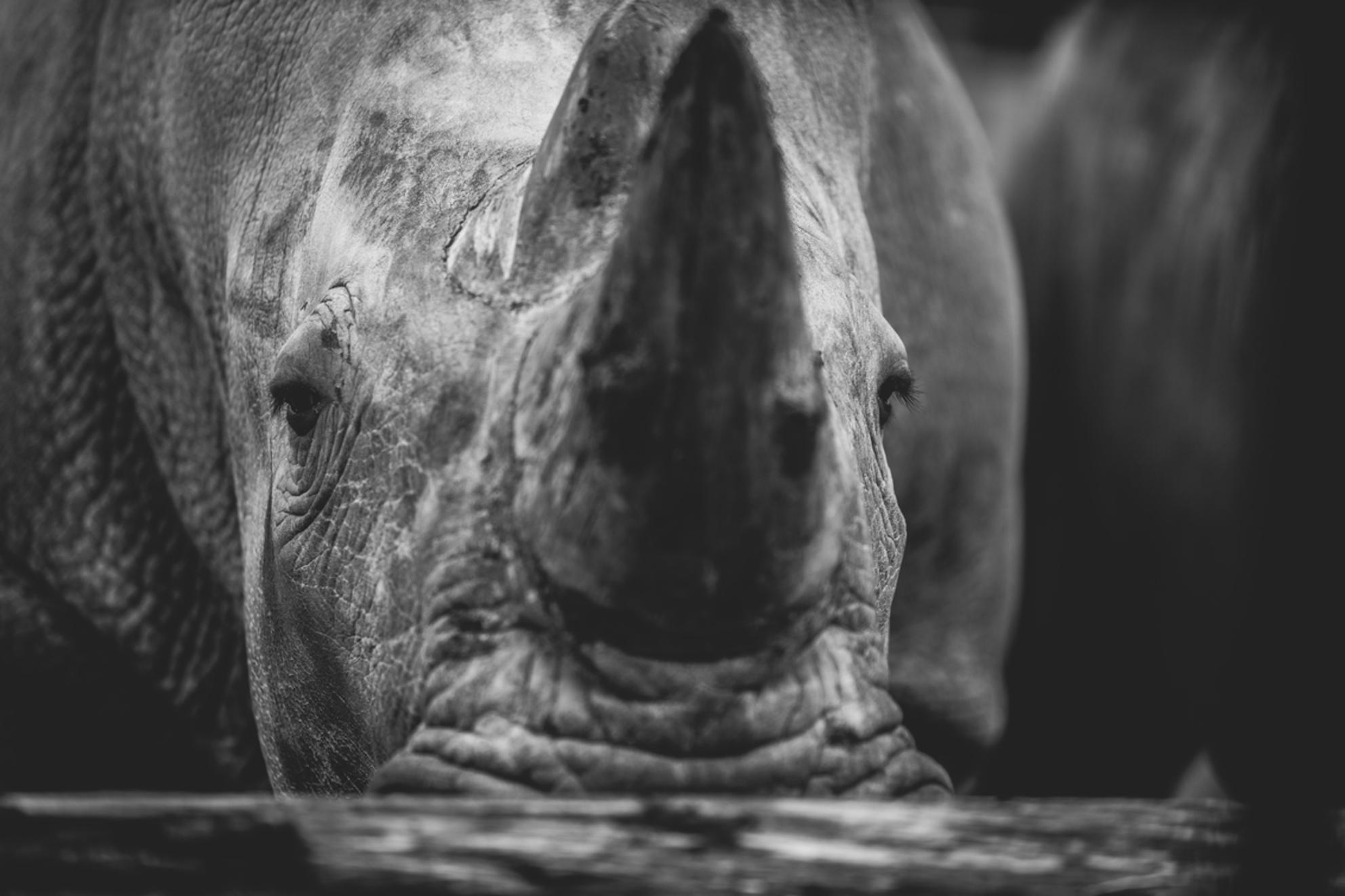 rhino portrait - Hongerige neushoorn die zen honger stilde door een boom op te peuzelen. - foto door deanXphotography op 25-02-2021 - deze foto bevat: dierentuin, dieren, zwartwit, afrika - Deze foto mag gebruikt worden in een Zoom.nl publicatie