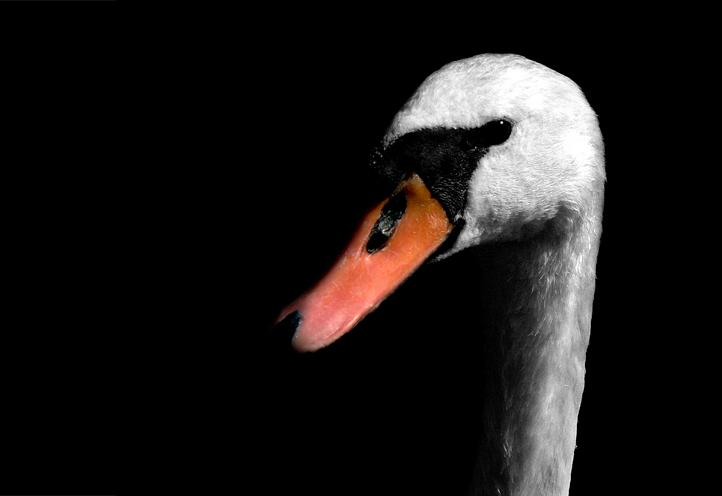 Elegance - Een zeer vrijmoedige zoetermeerse zwaan.  Deze foto heb ik bij het Noord Aa genomen, een recreatiegebied met een groot meer.  Het verbaasde me ho - foto door daniel44 op 29-04-2007 - deze foto bevat: wit, water, zwart, dieren, vogel, portret, zwaan, snavel, elegantie, daniel44