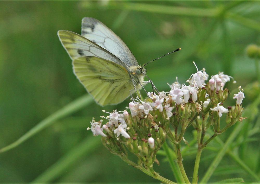 Witje - Allen bedankt op Koning dag oranje foto.  gr jenny.. - foto door jenny42 op 28-04-2018 - deze foto bevat: groen, wit, natuur, vlinder, vleugels, dieren, ogen, koolwitje, schermbloem, voelsprieten.