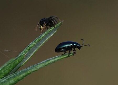 twee vriendjes? - 2 vriendjes? euh...denk het niet, maar ik vond ze oh zo leuk bij elkaar. Maar.....waarom krijg ik dit maar niet onder de knie...2 hele kleine beestje - foto door ingrid.m op 18-01-2011 - deze foto bevat: natuur, spin, insecten, spinnetje, tor, bladhaantje