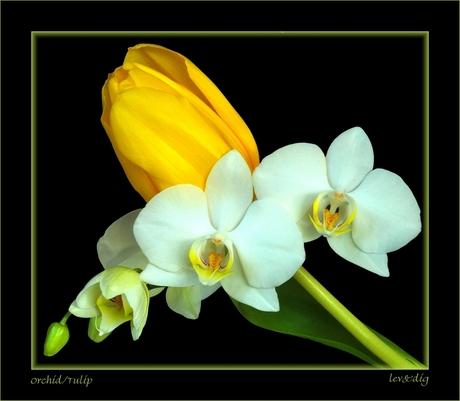 Orchid/Tulip