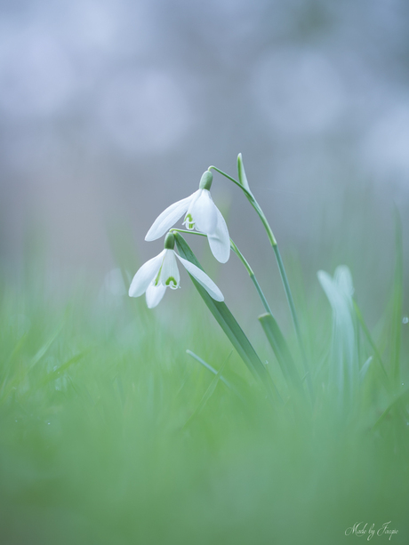 Do you hear it? the Sweet Whispers of these snowdrops