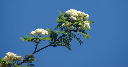 Wilde Lijsterbes in bloei - - - foto door Thomas_zoom op 02-05-2007 - deze foto bevat: bloei, lijsterbes
