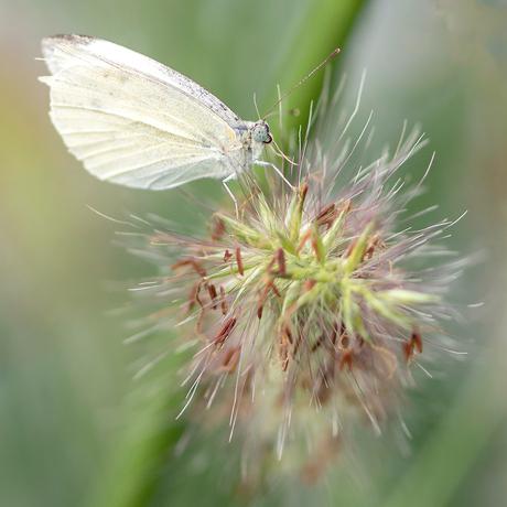 DSC_4825 Vlinder