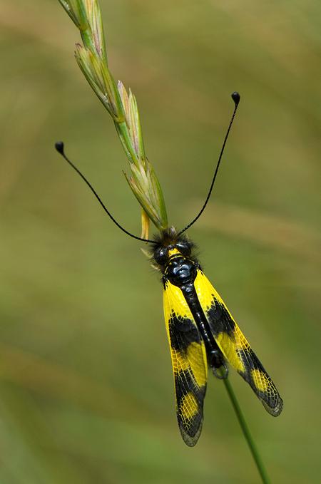 Vlinderhaft - vlinderhaft, heeft iets van een vlinder, en iets van een haft - foto door id032068 op 29-01-2014 - deze foto bevat: vlinder, vlinderhaft