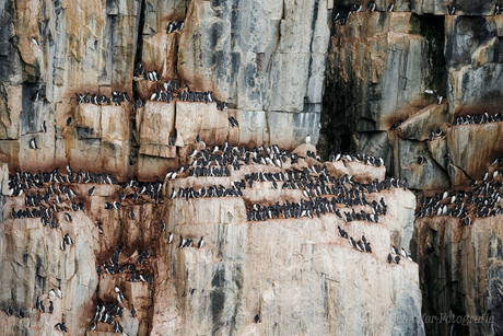 Vogelrots Alkefjellet Spitsbergen