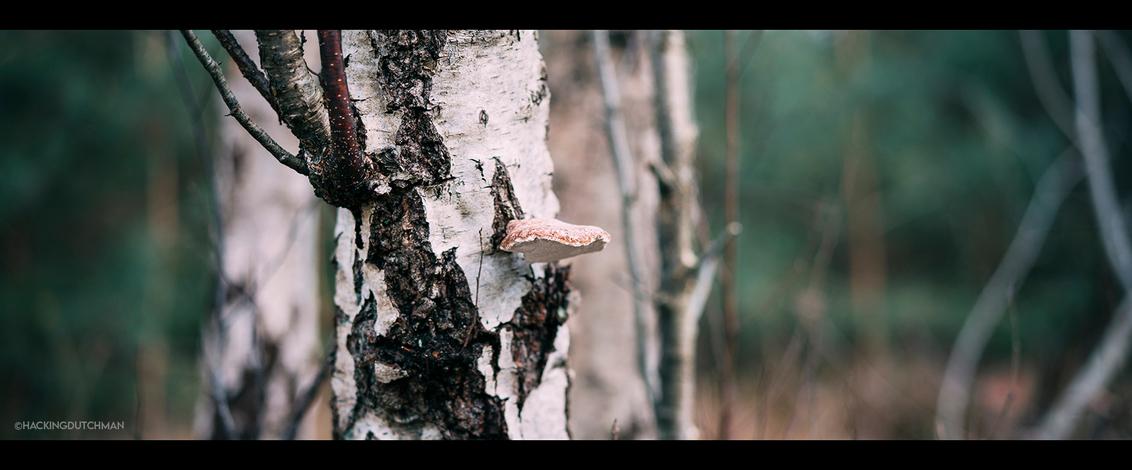 Zwam - Een zwam op een berkenboom.     ©MotionMan 2020 - foto door motionman op 09-12-2020 - deze foto bevat: boom, natuur, zwam, paddestoel, herfst, winter, dode, paddenstoel, bos, bomen, hout, takken, koud, perspectief, tak, simpel, dood, sfeer, berk, schimmel, levend, contrast, gevoel, closeup, fungus, fotografie, scherptediepte, schors, atmosfeer, sfeervol, berkenboom, wijd, bokeh, oranjewoud, fungi, boomzwam