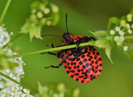 Klouterende Pyjamawants - Een Pyjamawants, aan de onderkant zwart gestippeld, aan zijn bovenzijde zwart gestreept. - foto door FocusV op 04-05-2020 - deze foto bevat: groen, macro, bloem, natuur, wants, insect, bokeh