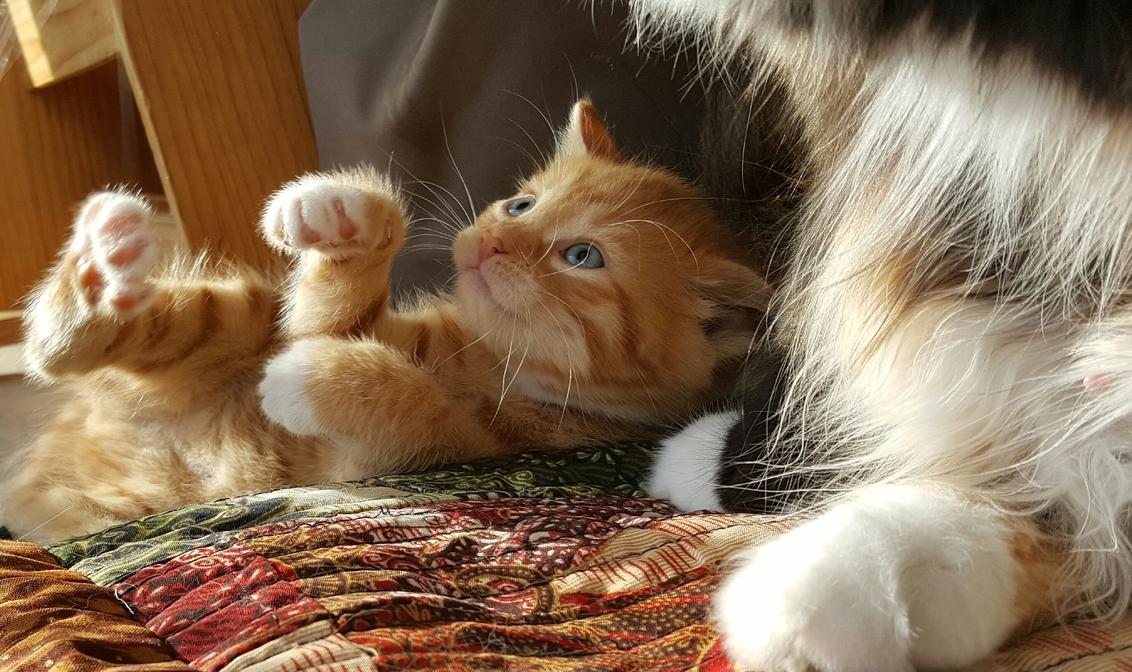 Zuuzy - Zuuzy, ze is half maine coon half htk. - foto door schaiky op 26-12-2020 - deze foto bevat: kitten, poes, dieren, huisdier, kat