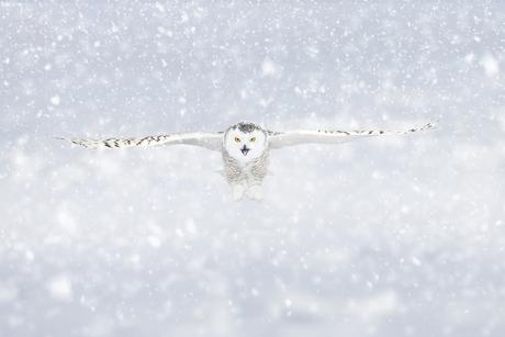 Sneeuwuil in de vlucht